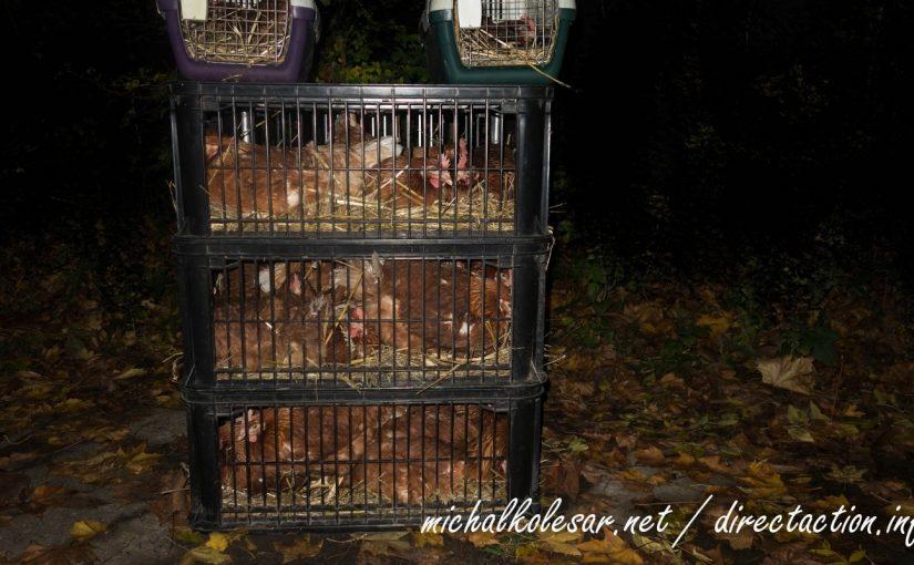Rescate de 25 gallinas en la República Checa.