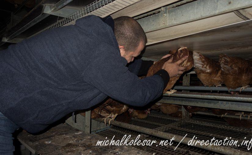 Rescate de gallinas en apoyo a Sven Van Hasselt en la República Checa.