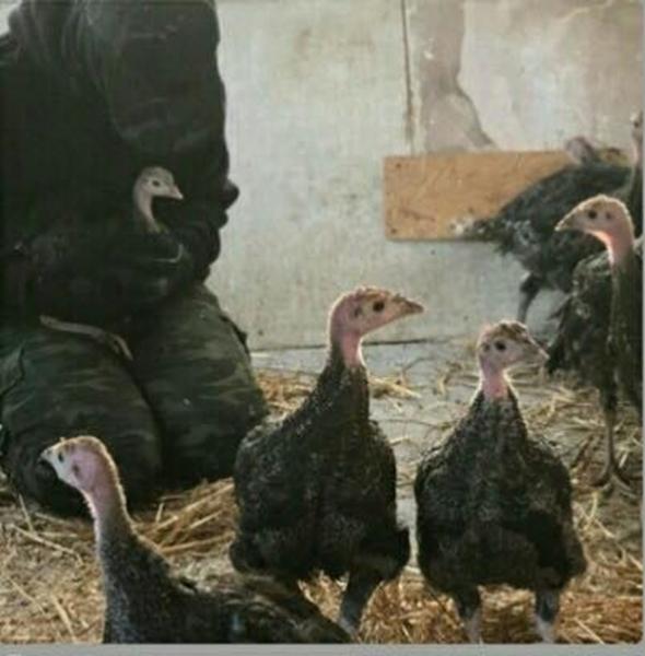 22 pavos liberados de una granja en Reino Unido.
