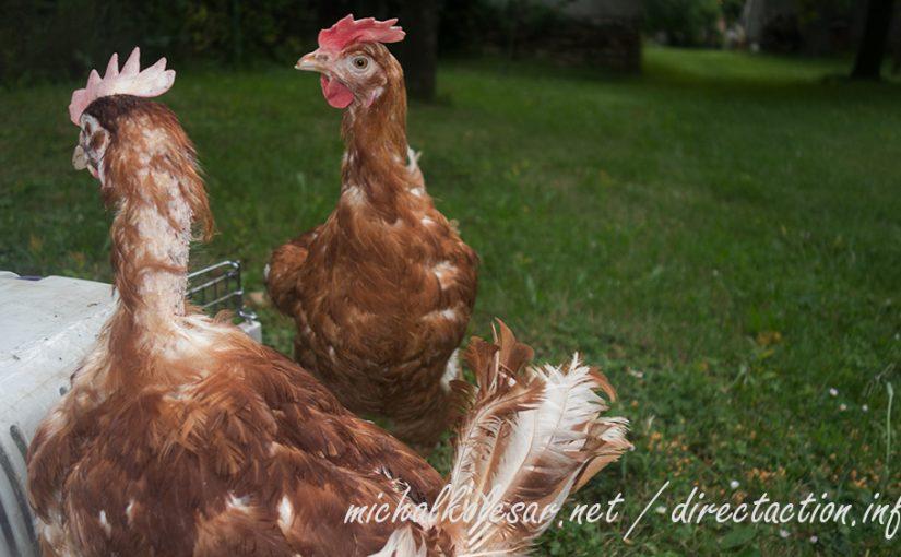 Rescate abierto de 48 gallinas en la República Checa.