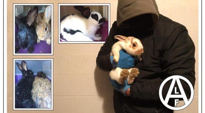 Conejos liberados de un criadero en Italia.