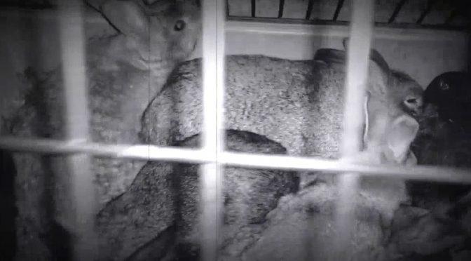 Conejos liberados y jaulas destriudas en Italia.