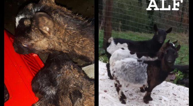 El Frente de Liberación Animal libera cabras y conejos en Italia.