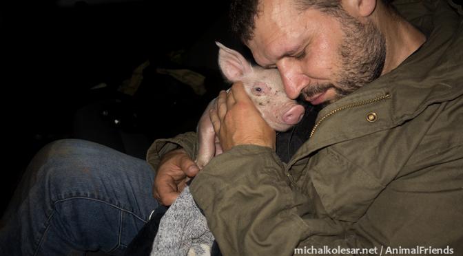 3 cerditos rescatados de una granja en la República Checa.